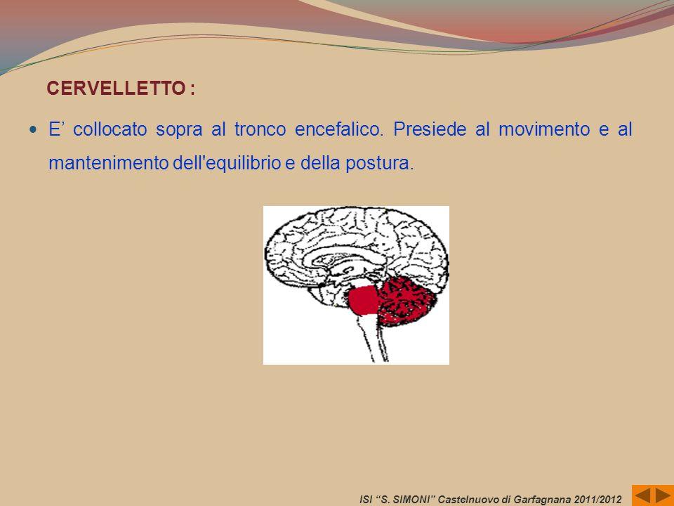 CERVELLETTO :E' collocato sopra al tronco encefalico. Presiede al movimento e al mantenimento dell equilibrio e della postura.