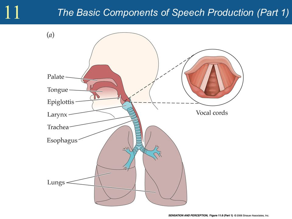 The Basic Components of Speech Production (Part 1)