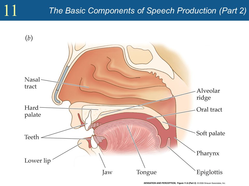 The Basic Components of Speech Production (Part 2)
