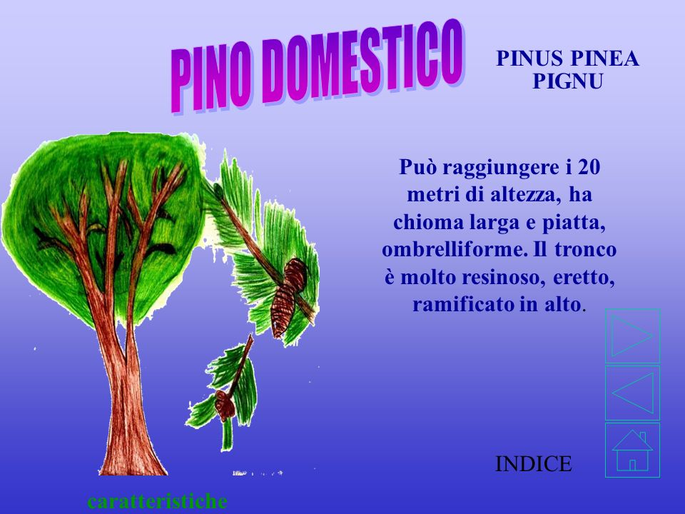 PINO DOMESTICO PINUS PINEA PIGNU