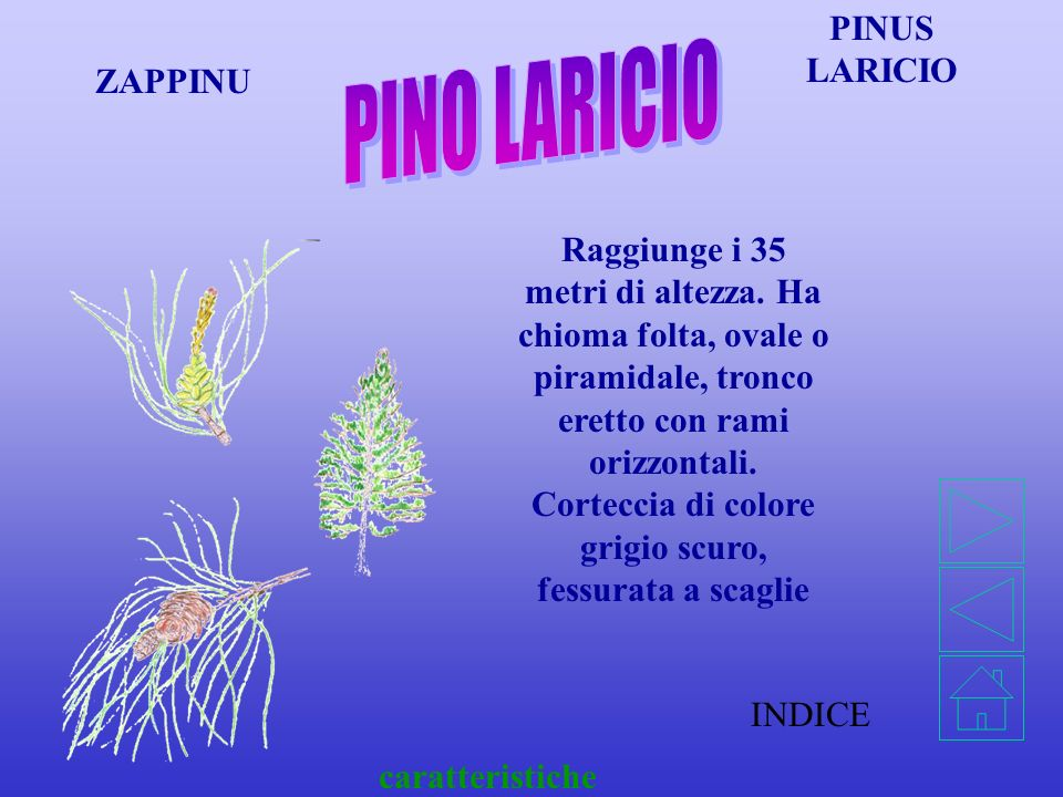 PINO LARICIO PINUS LARICIO ZAPPINU