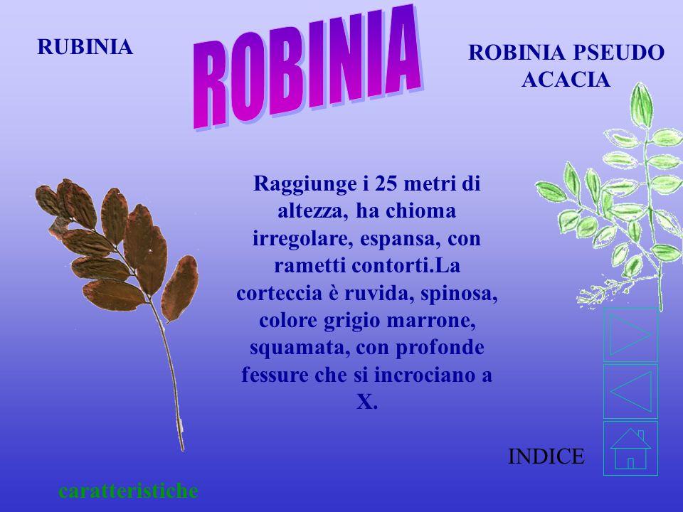 ROBINIA RUBINIA ROBINIA PSEUDO ACACIA