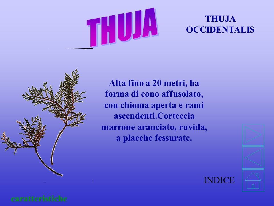THUJA THUJA OCCIDENTALIS