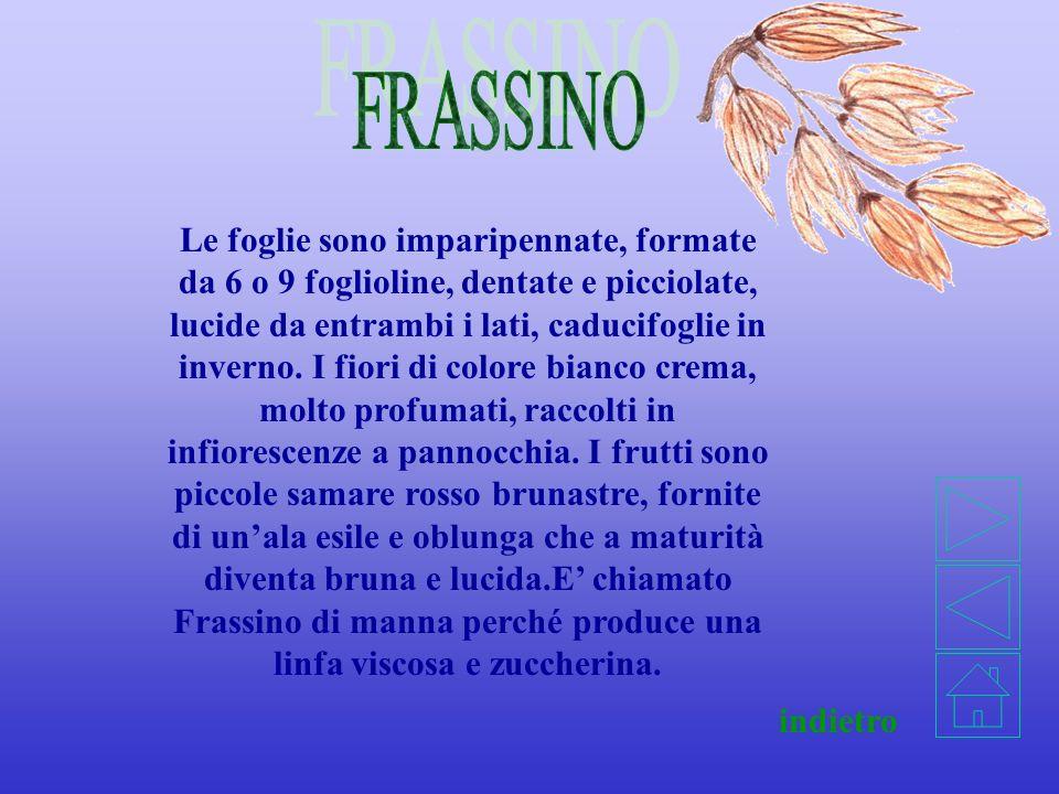 FRASSINO