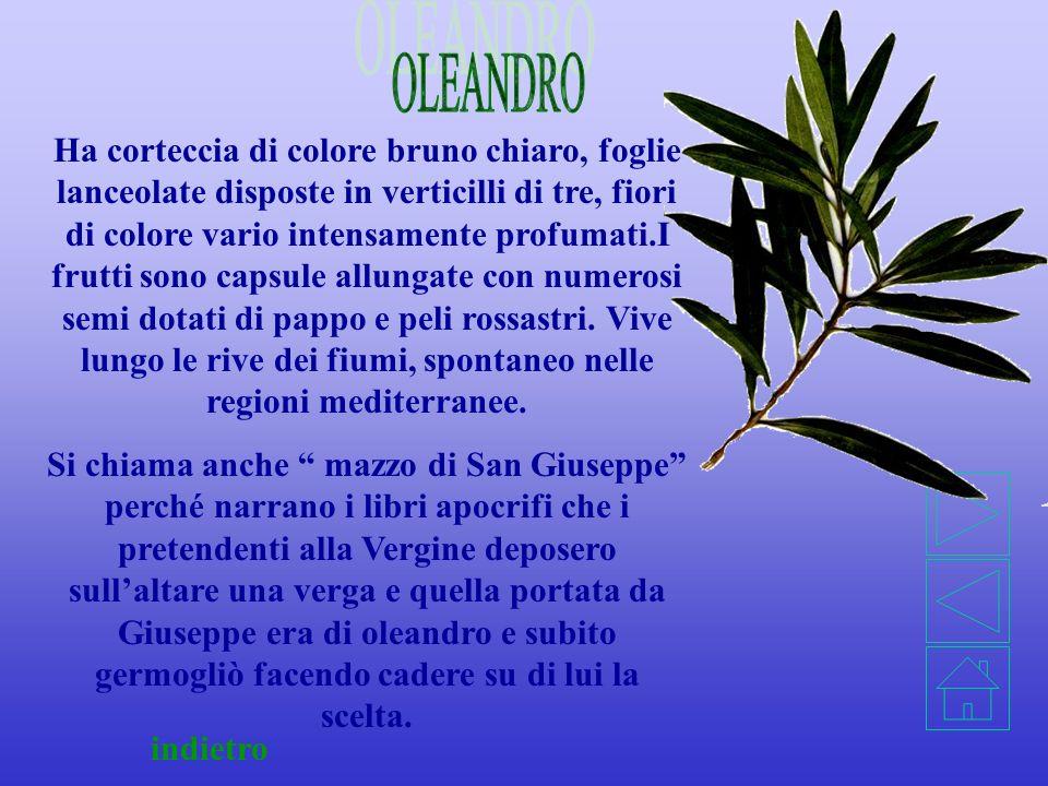 OLEANDRO