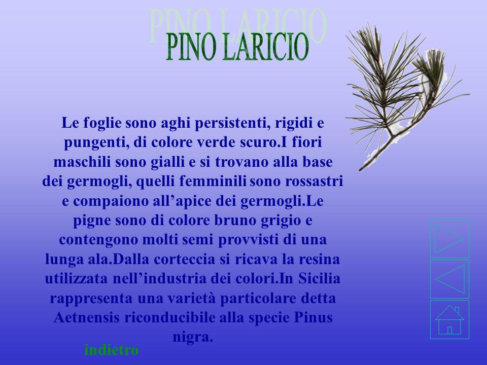 PINO LARICIO