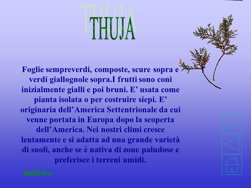 THUJA
