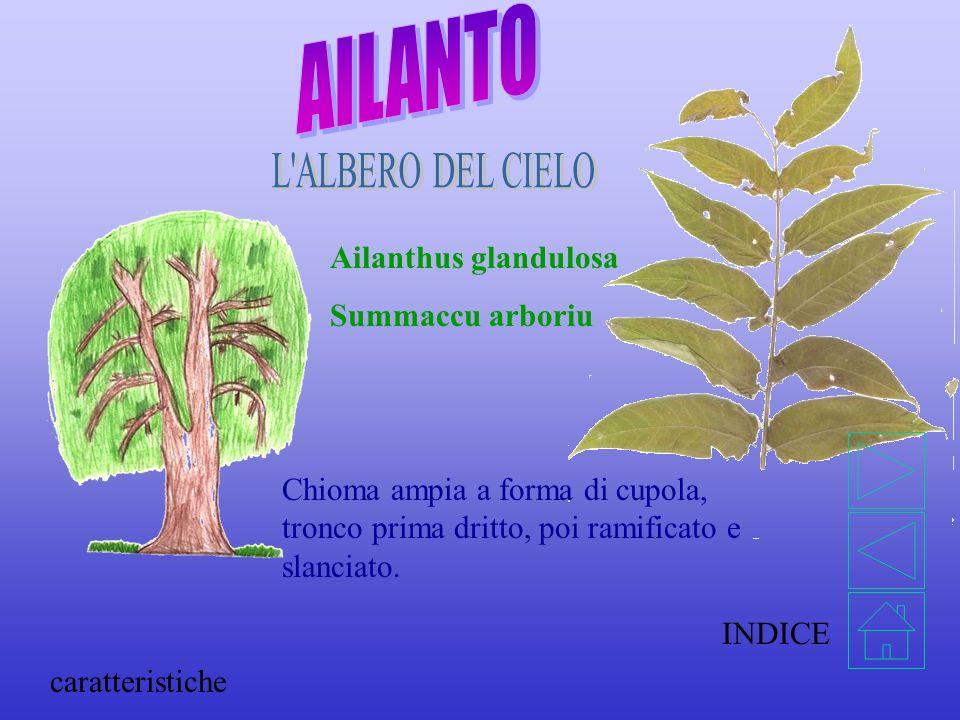 AILANTO L ALBERO DEL CIELO Ailanthus glandulosa Summaccu arboriu