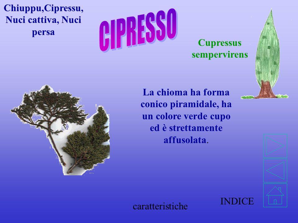 Chiuppu,Cipressu,Nuci cattiva, Nuci persa Cupressus sempervirens