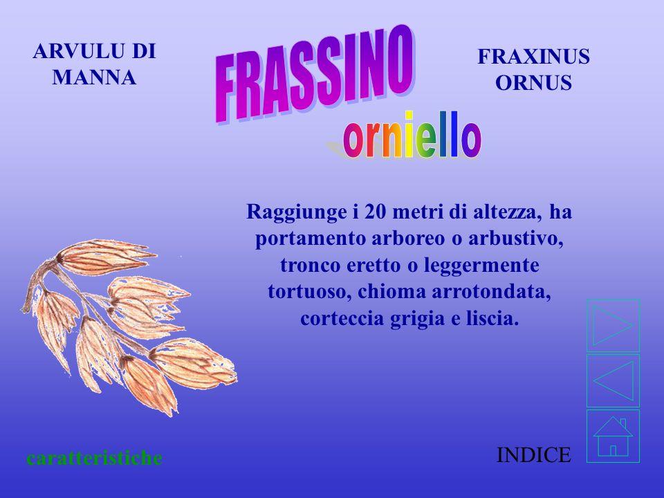 FRASSINO orniello ARVULU DI MANNA FRAXINUS ORNUS