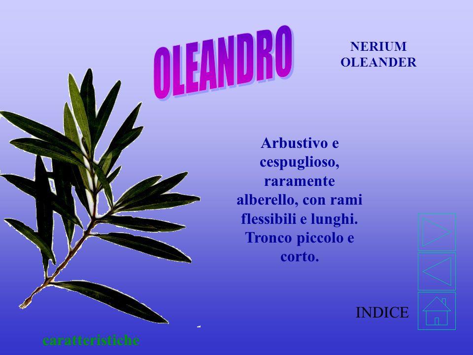 OLEANDRO NERIUM OLEANDER. Arbustivo e cespuglioso, raramente alberello, con rami flessibili e lunghi. Tronco piccolo e corto.