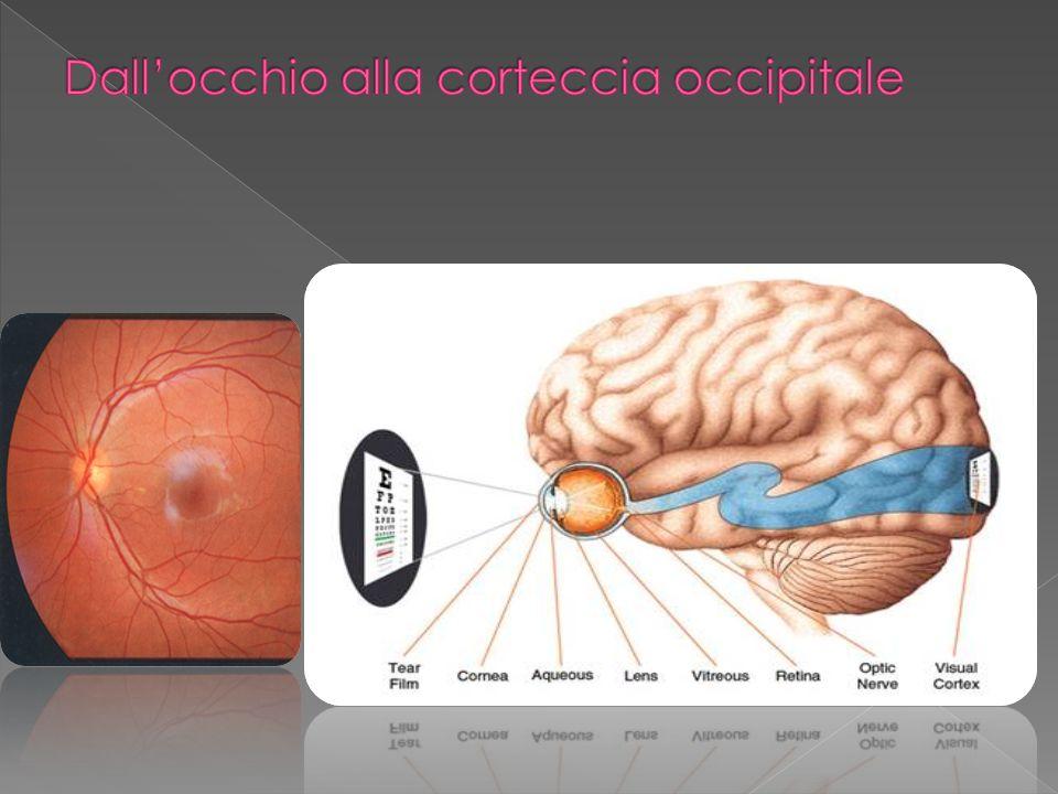 Dall'occhio alla corteccia occipitale