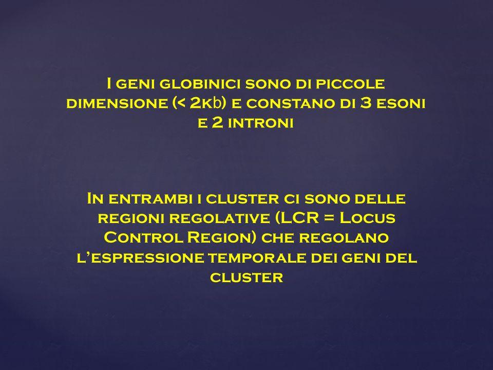 I geni globinici sono di piccole dimensione (< 2kb) e constano di 3 esoni e 2 introni