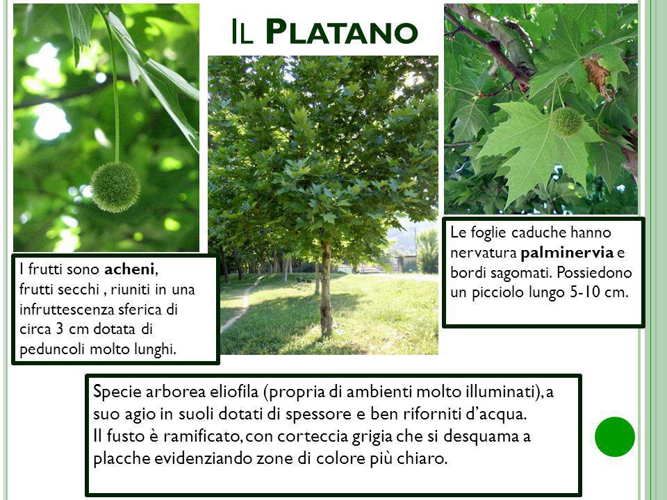 Il Platano Le foglie caduche hanno nervatura palminervia e bordi sagomati. Possiedono un picciolo lungo 5-10 cm.