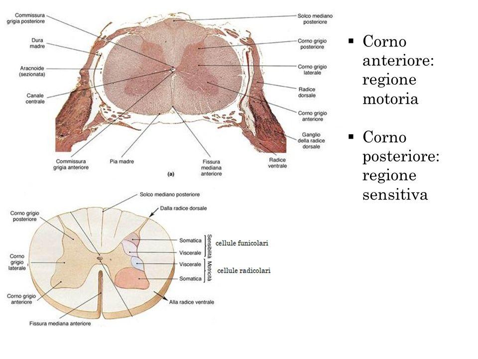 Corno anteriore: regione motoria