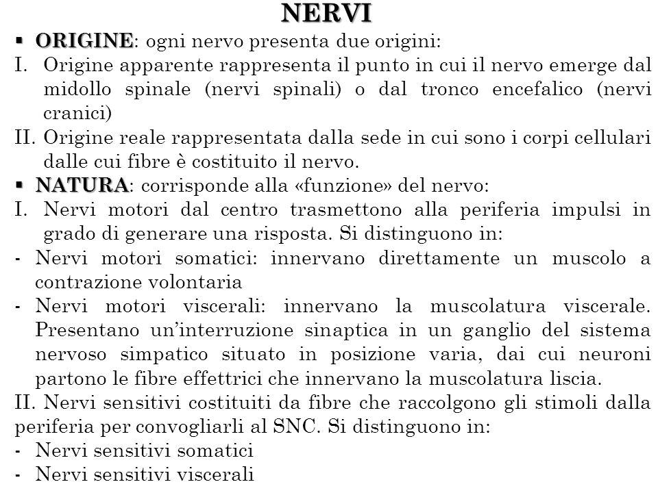 NERVI ORIGINE: ogni nervo presenta due origini: