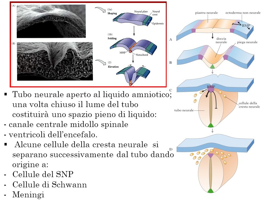 Tubo neurale aperto al liquido amniotico; una volta chiuso il lume del tubo costituirà uno spazio pieno di liquido: