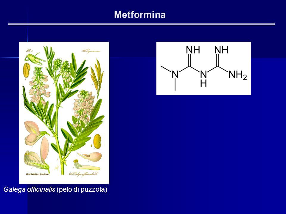 Metformina Galega officinalis (pelo di puzzola)