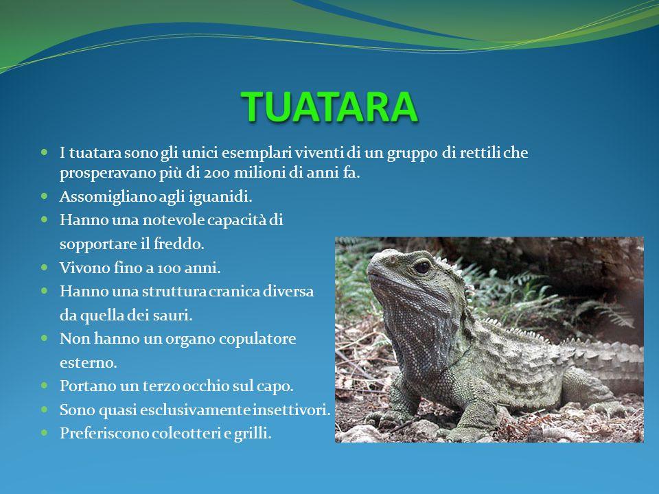 TUATARA I tuatara sono gli unici esemplari viventi di un gruppo di rettili che prosperavano più di 200 milioni di anni fa.