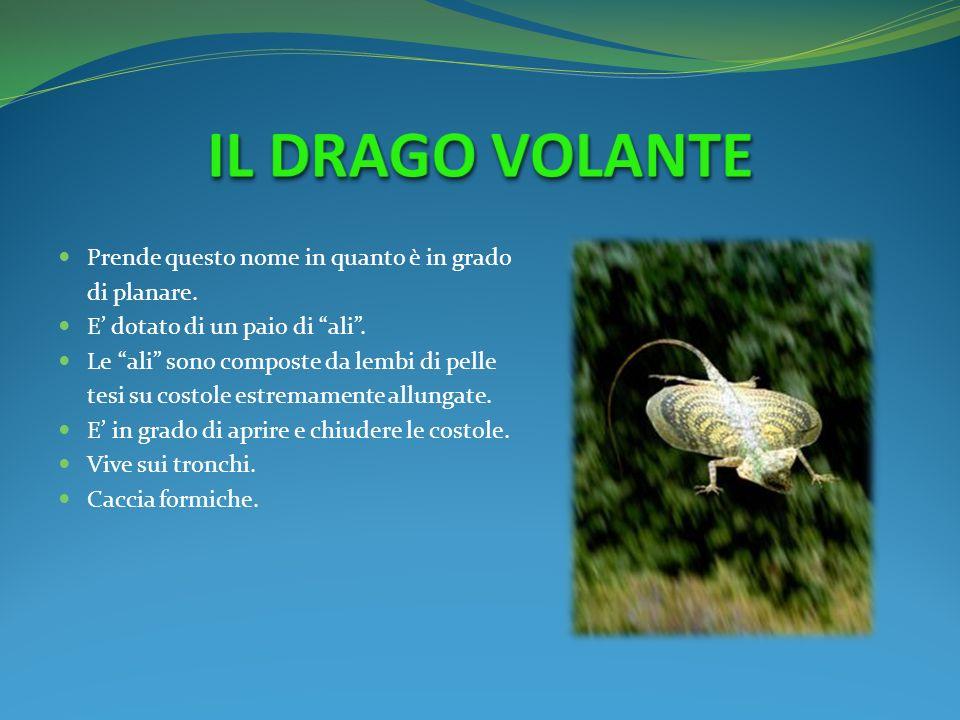 IL DRAGO VOLANTE Prende questo nome in quanto è in grado di planare.
