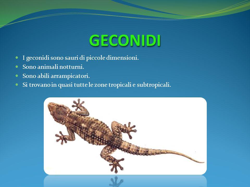 GECONIDI I geconidi sono sauri di piccole dimensioni.