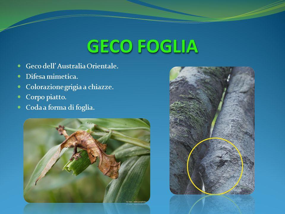 GECO FOGLIA Geco dell' Australia Orientale. Difesa mimetica.