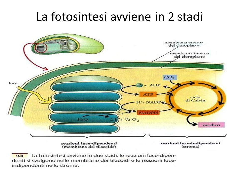 La fotosintesi avviene in 2 stadi