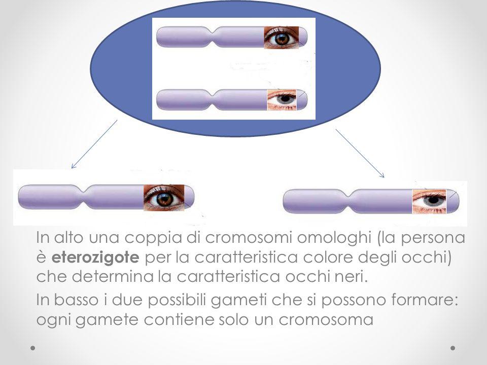 In alto una coppia di cromosomi omologhi (la persona è eterozigote per la caratteristica colore degli occhi) che determina la caratteristica occhi neri.
