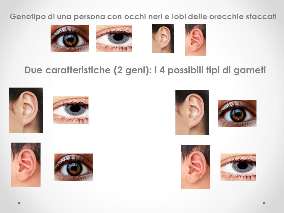 Due caratteristiche (2 geni): i 4 possibili tipi di gameti