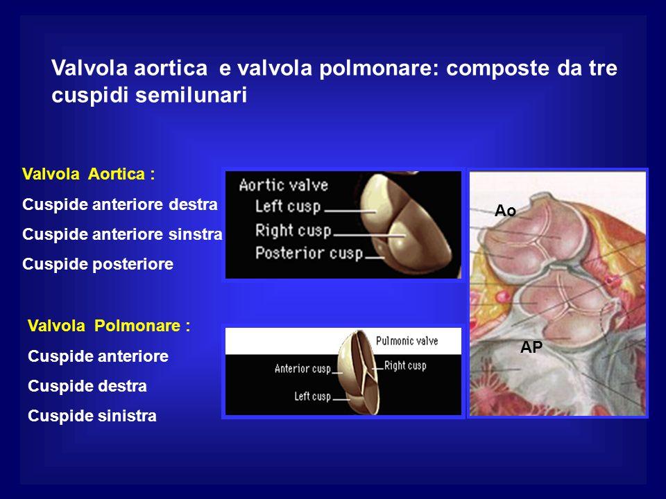 Valvola aortica e valvola polmonare: composte da tre cuspidi semilunari