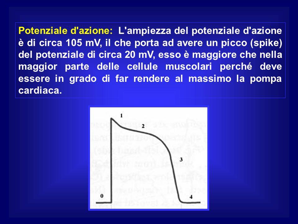 Potenziale d azione: L ampiezza del potenziale d azione è di circa 105 mV, il che porta ad avere un picco (spike) del potenziale di circa 20 mV, esso è maggiore che nella maggior parte delle cellule muscolari perché deve essere in grado di far rendere al massimo la pompa cardiaca.