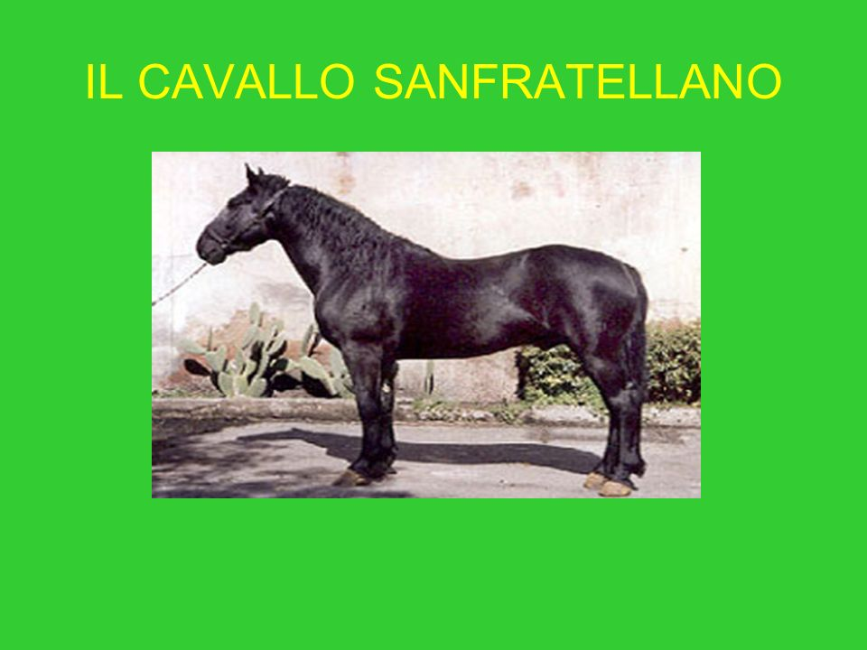 IL CAVALLO SANFRATELLANO