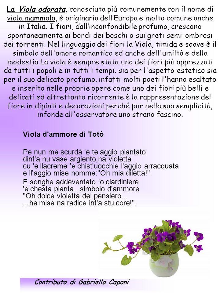 La Viola odorata, conosciuta più comunemente con il nome di viola mammola, è originaria dell'Europa e molto comune anche in Italia. I fiori, dall'inconfondibile profumo, crescono spontaneamente ai bordi dei boschi o sui greti semi-ombrosi dei torrenti. Nel linguaggio dei fiori la Viola, timida e soave è il simbolo dell amore romantico ed anche dell umiltà e della modestia La viola è sempre stata uno dei fiori più apprezzati da tutti i popoli e in tutti i tempi. sia per l aspetto estetico sia per il suo delicato profumo. infatti molti poeti l hanno esaltato e inserito nelle proprie opere come uno dei fiori più belli e delicati ed altrettanto ricorrente è la rappresentazione del fiore in dipinti e decorazioni perché pur nella sua semplicità, infonde all osservatore uno strano fascino.
