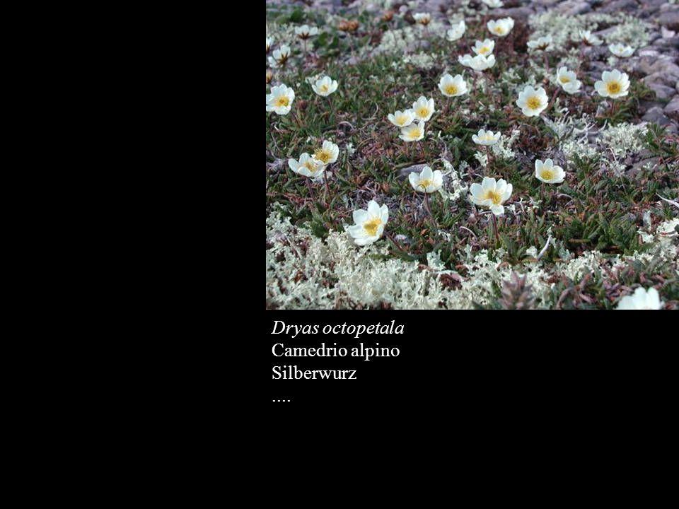 Dryas octopetala Camedrio alpino Silberwurz ....