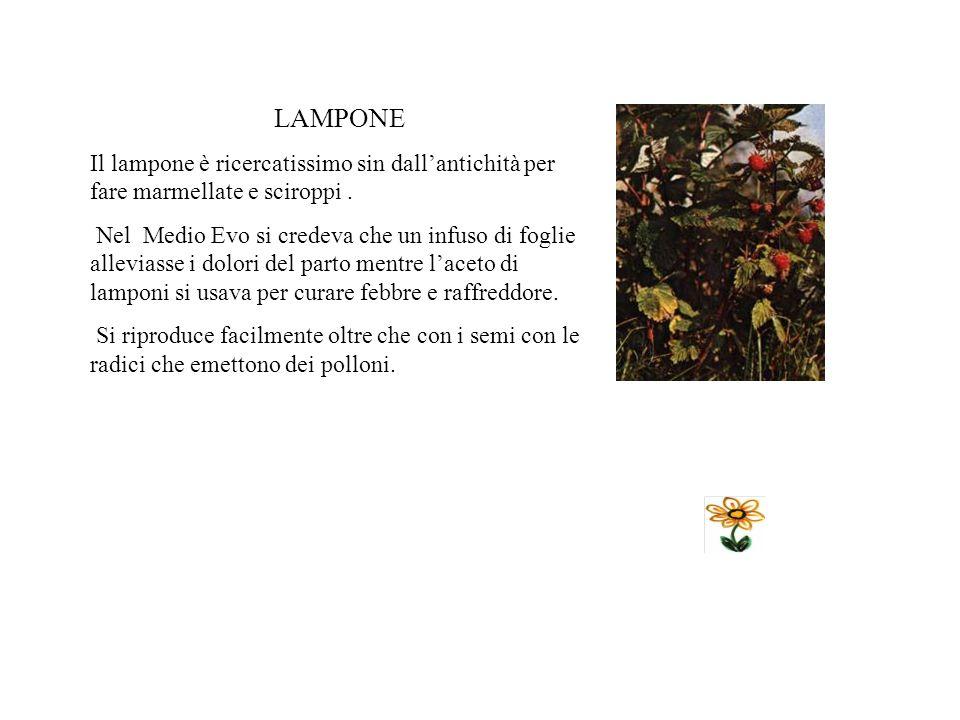 LAMPONE Il lampone è ricercatissimo sin dall'antichità per fare marmellate e sciroppi .