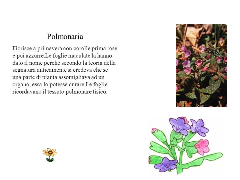 Polmonaria