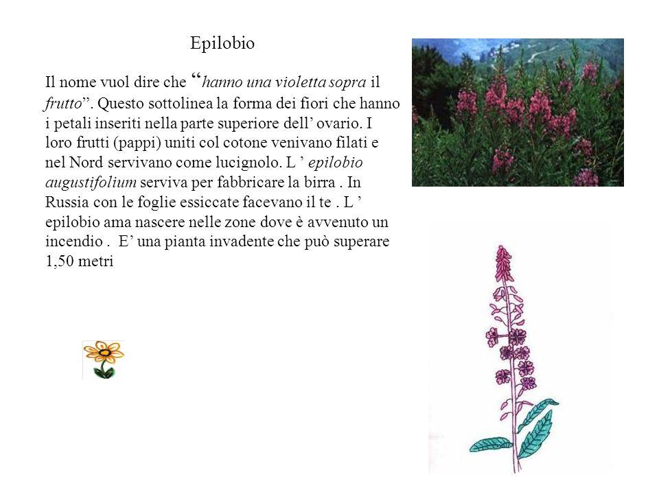 Epilobio