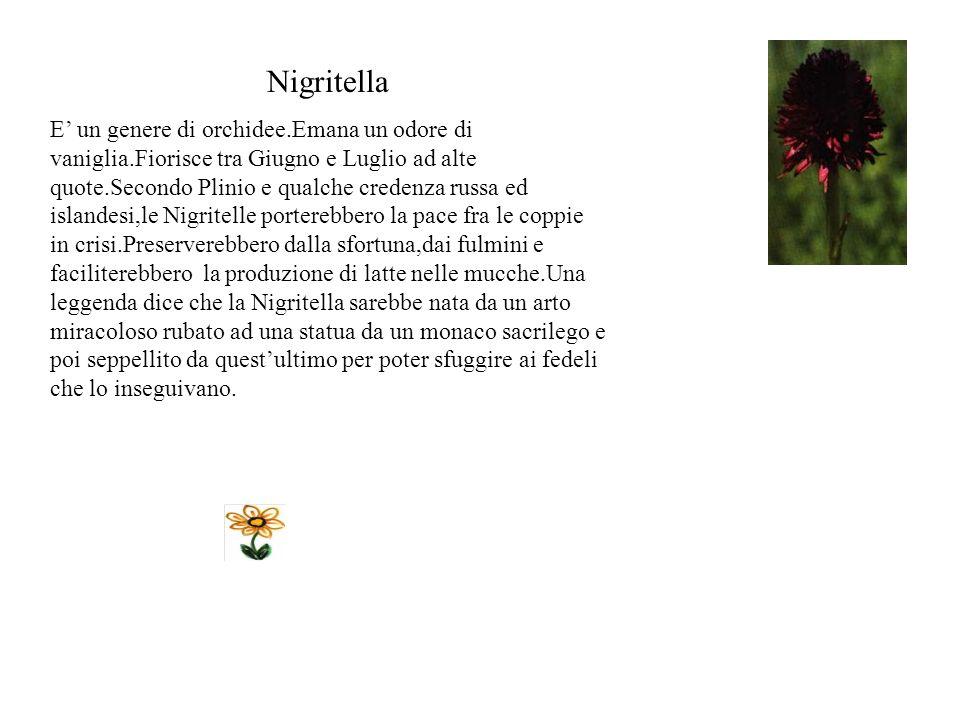 Nigritella