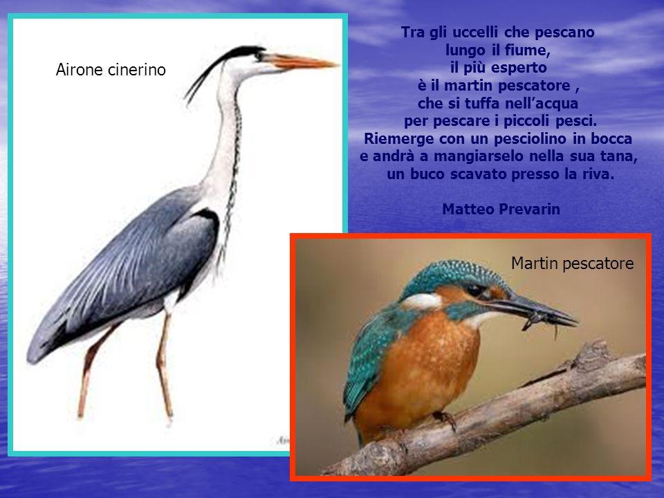Airone cinerino Martin pescatore Tra gli uccelli che pescano