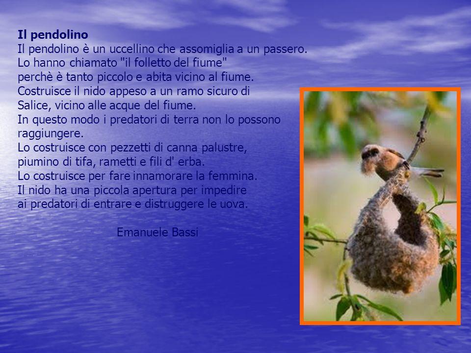 Il pendolino Il pendolino è un uccellino che assomiglia a un passero. Lo hanno chiamato il folletto del fiume