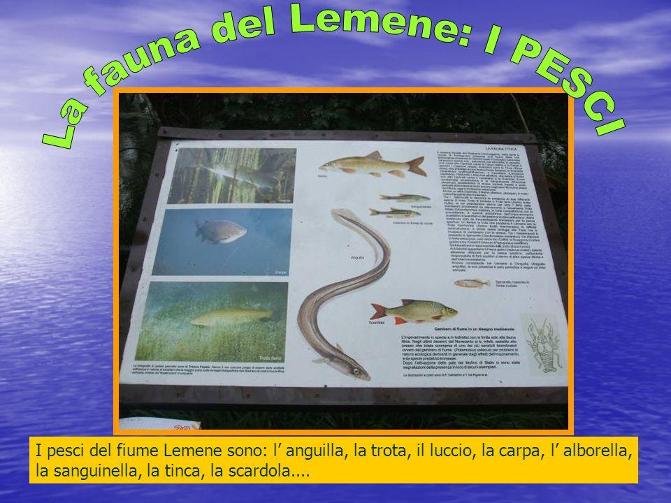 La fauna del Lemene: I PESCI