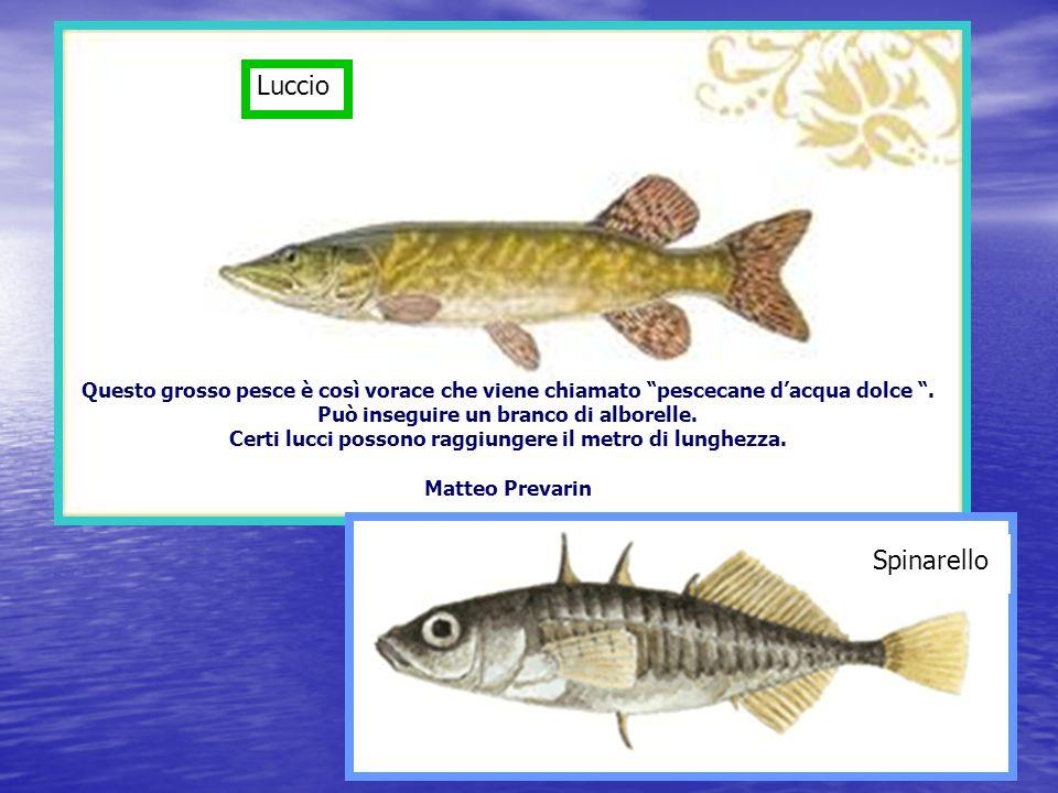 Luccio Questo grosso pesce è così vorace che viene chiamato pescecane d'acqua dolce . Può inseguire un branco di alborelle.