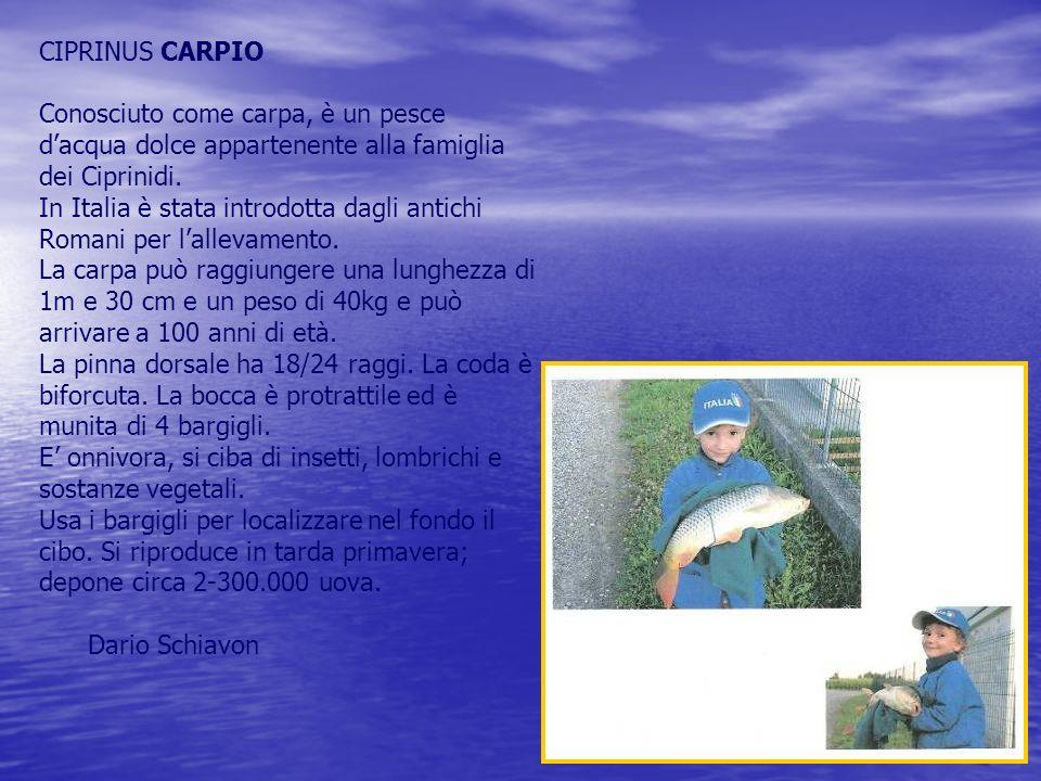 CIPRINUS CARPIO Conosciuto come carpa, è un pesce d'acqua dolce appartenente alla famiglia dei Ciprinidi.