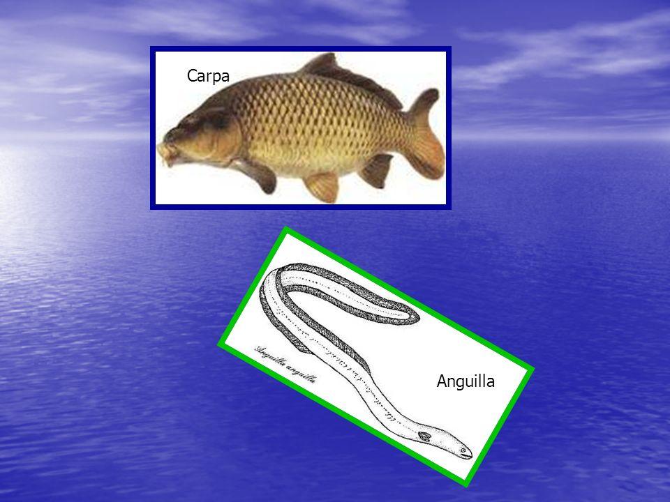 Carpa Anguilla