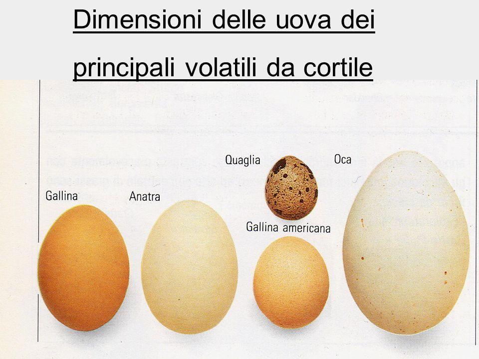 Dimensioni delle uova dei