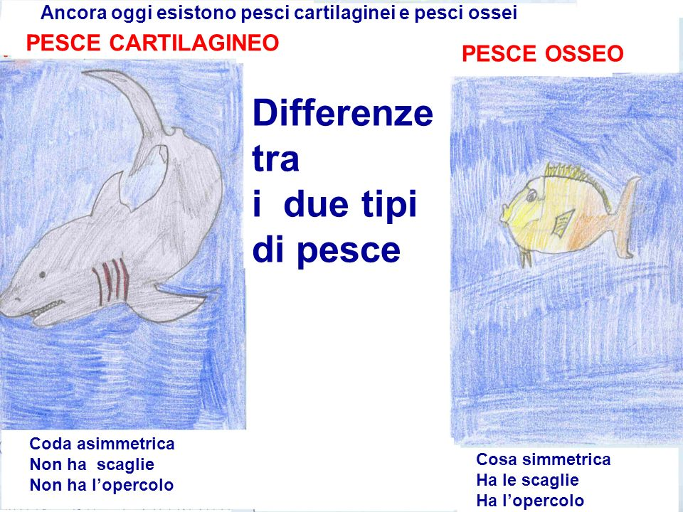 Differenze tra i due tipi di pesce PESCE CARTILAGINEO PESCE OSSEO