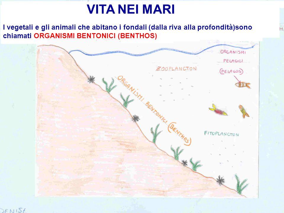 VITA NEI MARI I vegetali e gli animali che abitano i fondali (dalla riva alla profondità)sono chiamati ORGANISMI BENTONICI (BENTHOS)