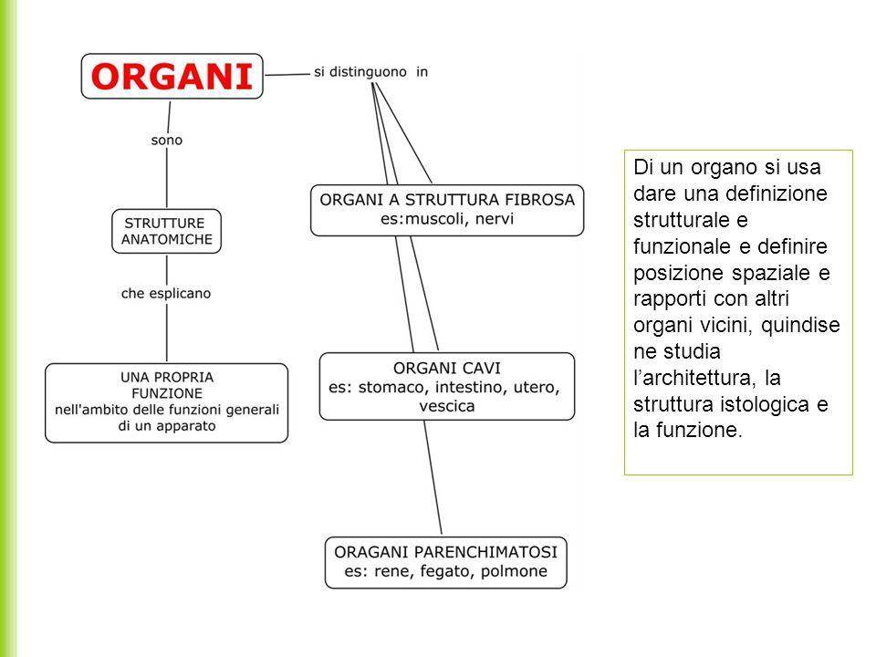 Di un organo si usa dare una definizione strutturale e funzionale e definire posizione spaziale e rapporti con altri organi vicini, quindise ne studia l'architettura, la struttura istologica e la funzione.