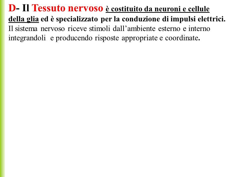 D- Il Tessuto nervoso è costituito da neuroni e cellule