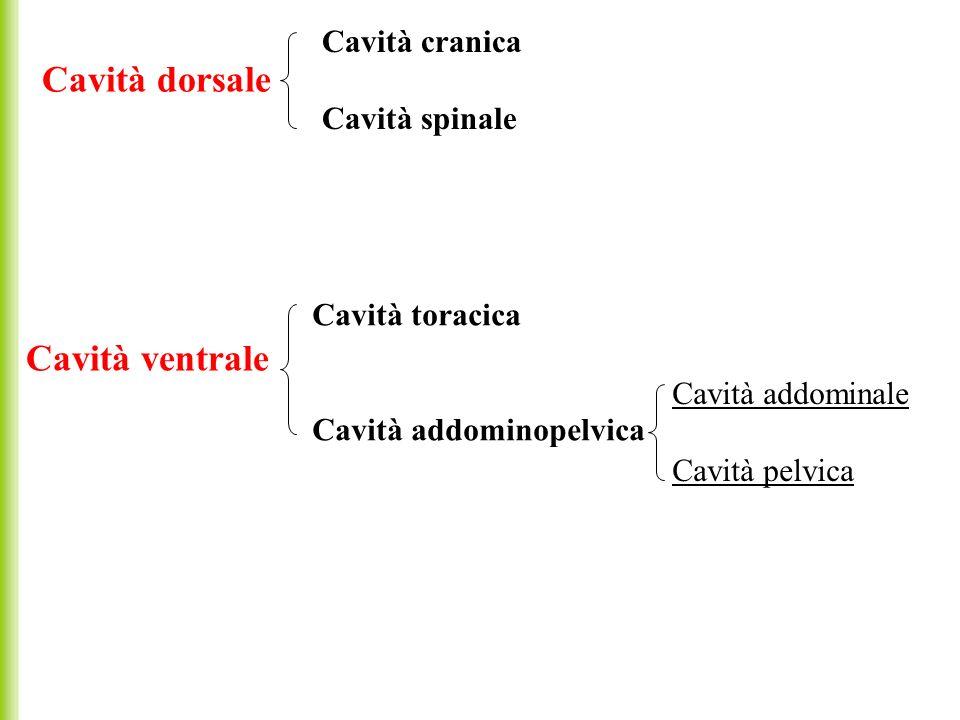 Cavità dorsale Cavità ventrale Cavità cranica Cavità spinale